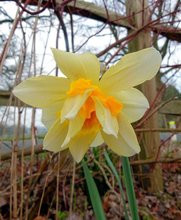 Distorted daffodil
