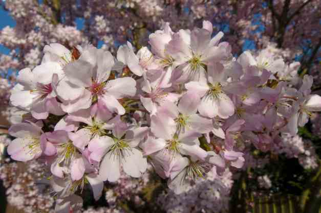 Flowering Cherry Blossom