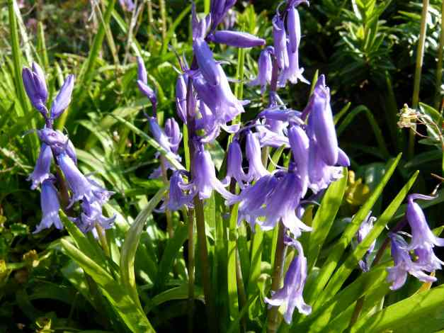 Bluebells blooming beautifully in Maresfield