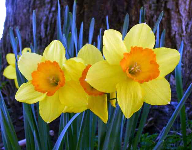 Daffodils under tree