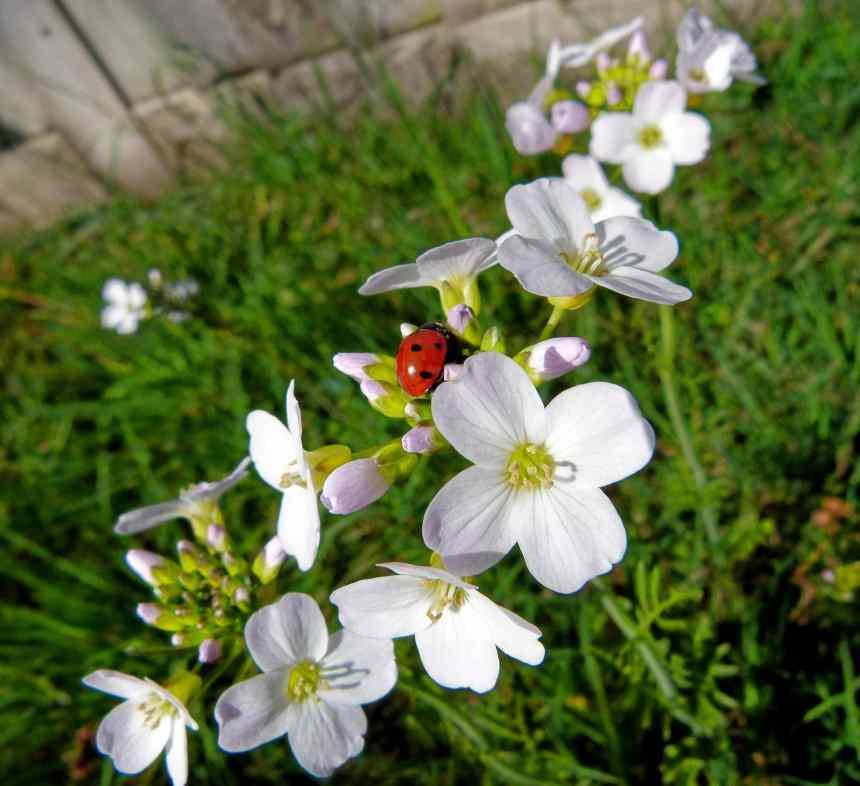 Cuckoo Flowers with Ladybird