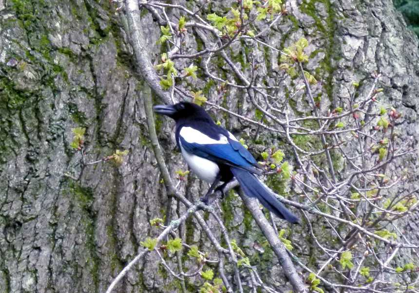 Magpie in a tree