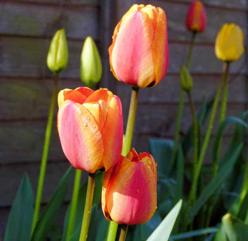 Orange and Red tulips