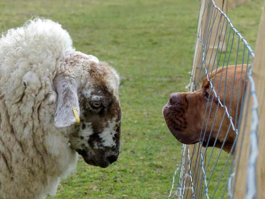 Mama Sheep eyeballing Dogue de bordeaux
