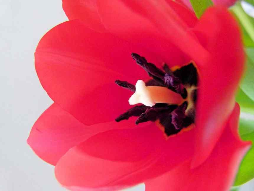 Single red tulip