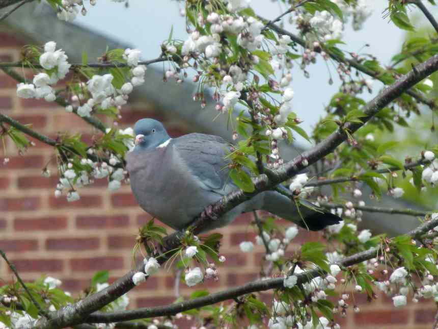 Woodpigeon in blossoming tree