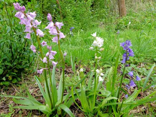 3 different colours of bluebells growing in a row