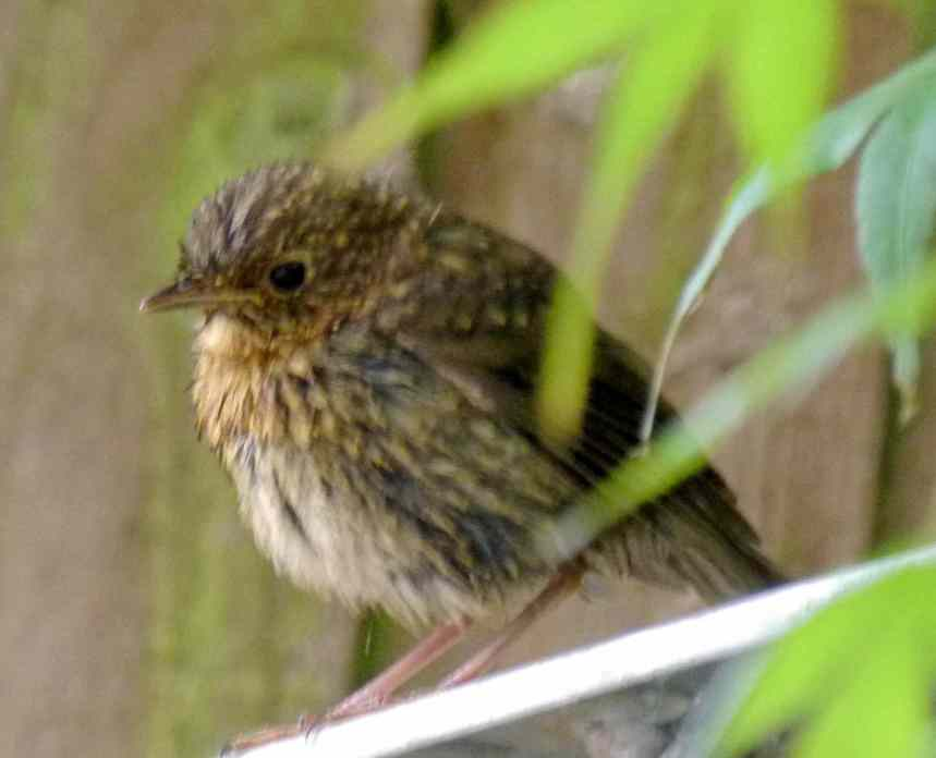 Wet baby bird - could be a Thrush