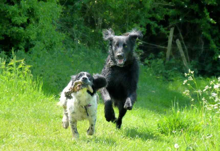 Dogs running with rotten rabbit foot