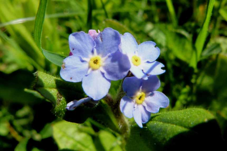 Field Forget-me-nots
