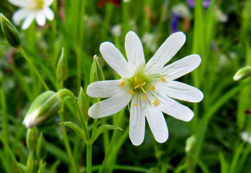 Greater Stitchwort white blossoms