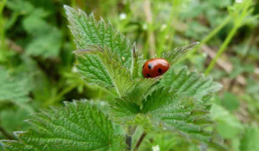 Ladybird on stinging nettle