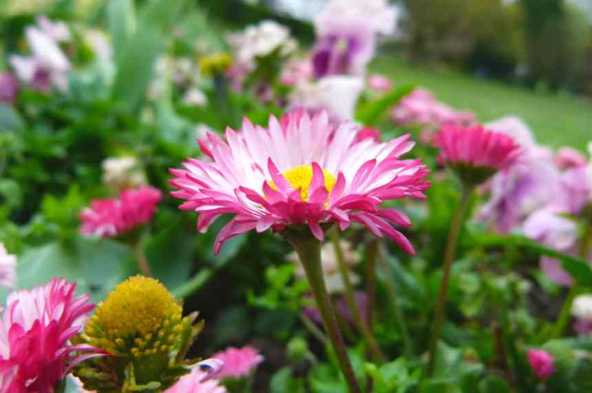 Pink-tipped English Daisy
