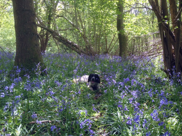 Bluebells and Tilly