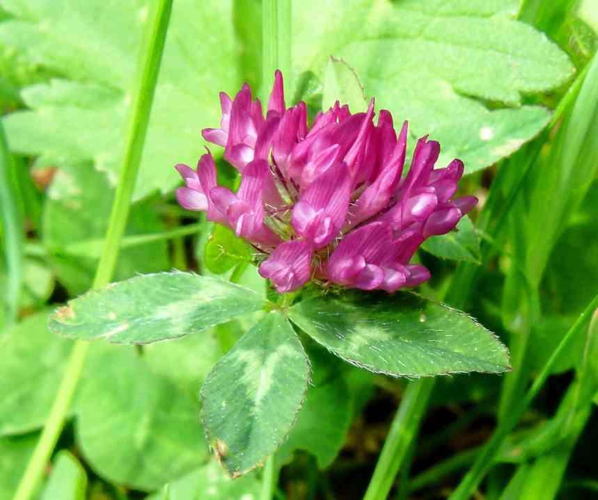 Red clover flower (Trifolium pratense)