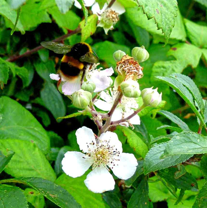 Bee on Bramble
