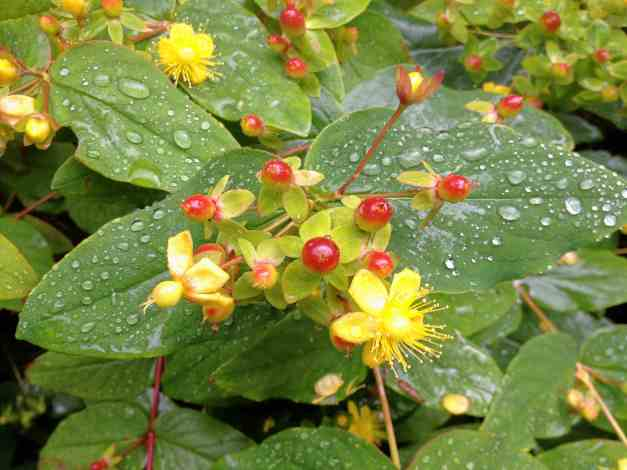 Blossom and berries of Hypericum