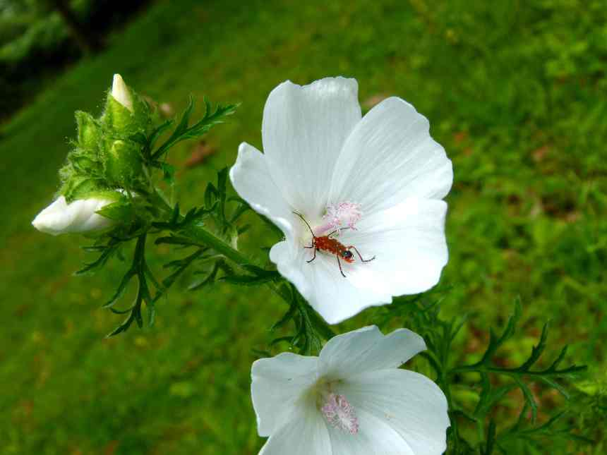 Musk mallow with red soldier beetle