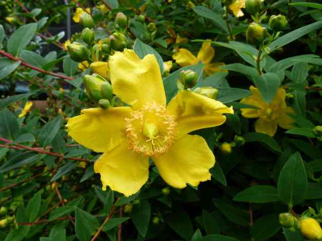 St. John's Wort or Golden Cup