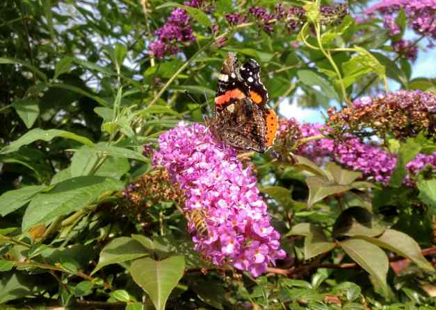 Bee and Butterfly on Buddleia