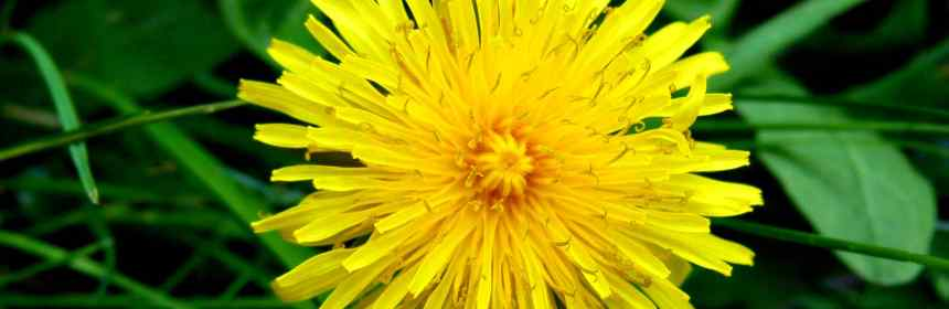 The Dandy Dandelion Symbol Of Summer Fables And Flora