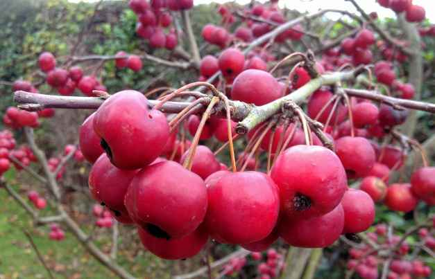 Crimson Crab apples