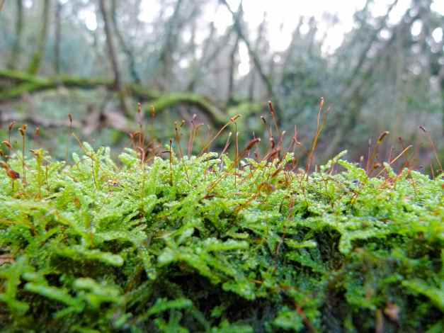 Moss Sporophytes on a log