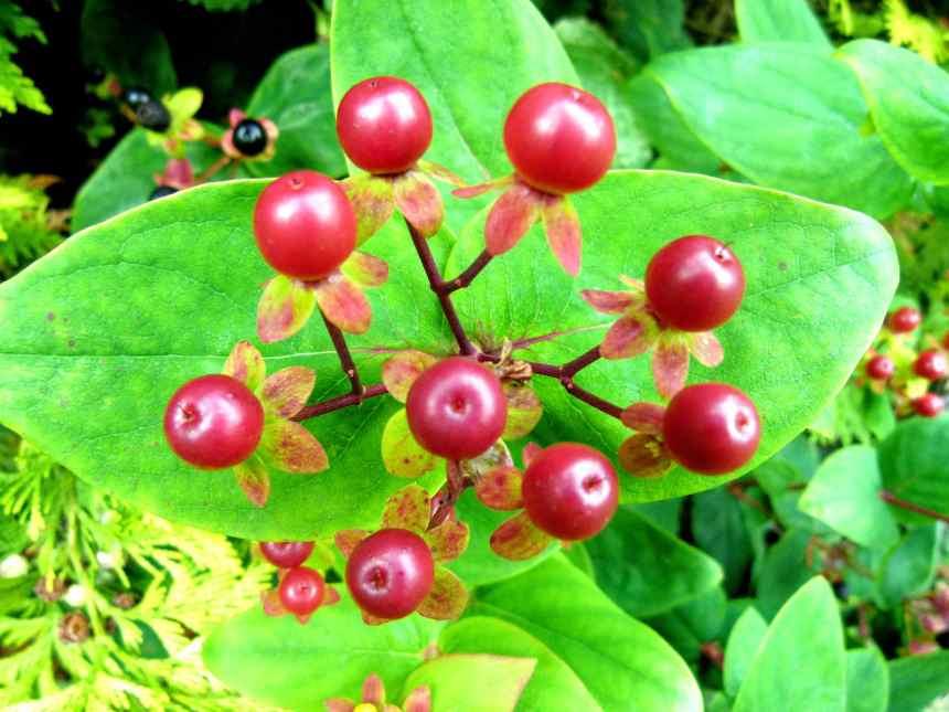St John's Wort Berry cluster
