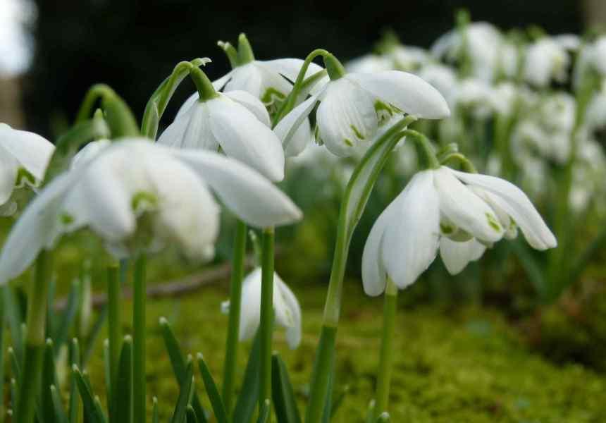 Graceful, delicate snowdrops
