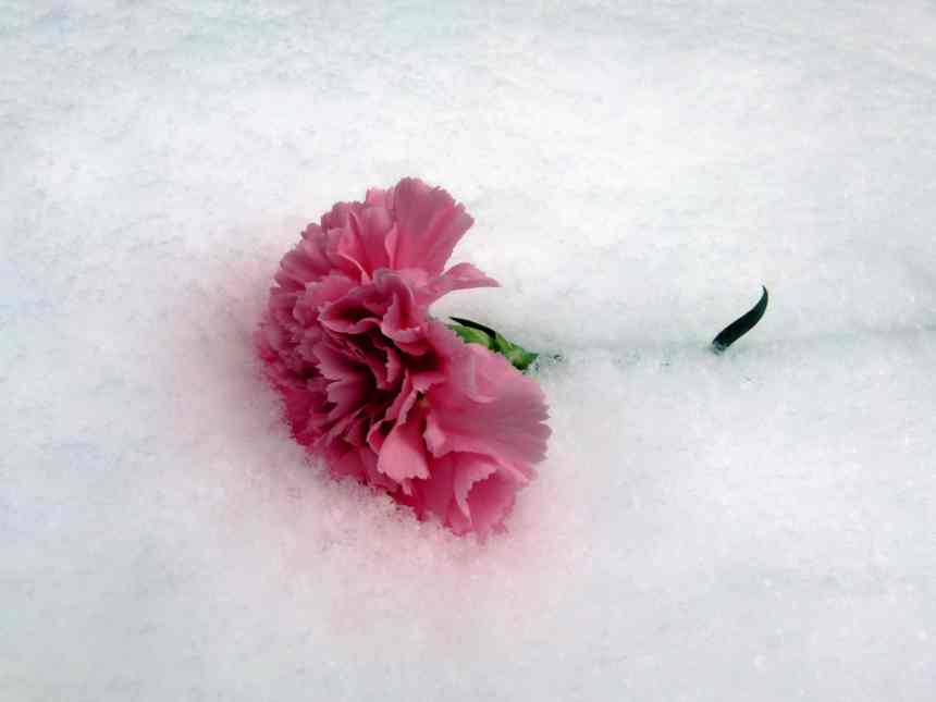 Carnation in the snow 2 low res
