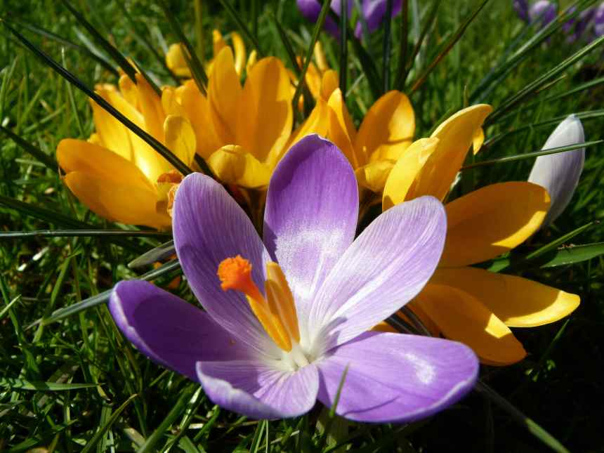 Crocus cluster in the sunlight