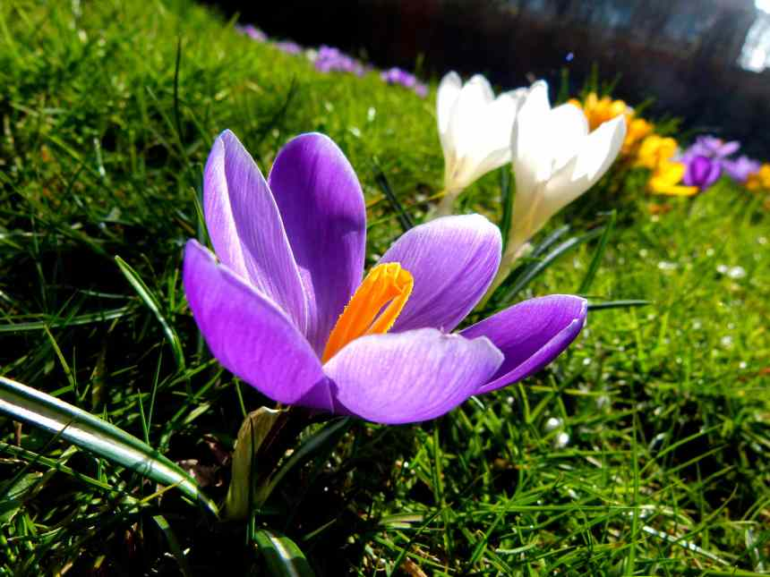 Will the Crocuses see the sun again?