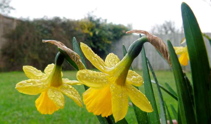 Daffodils and raindrops
