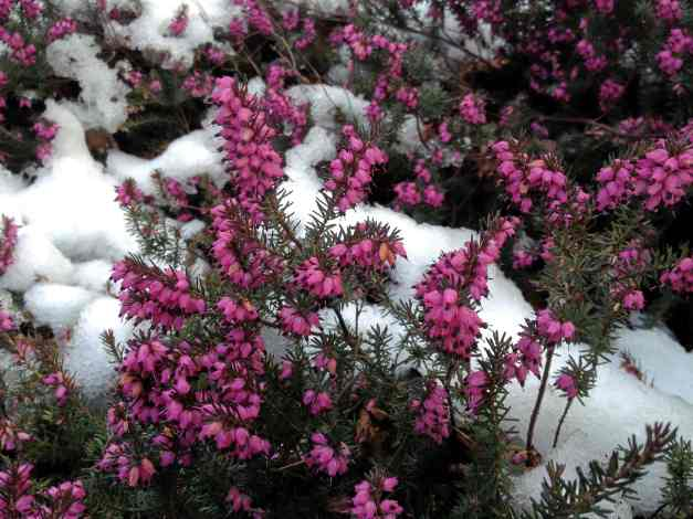 Erica Carnea - heather with a dollop of snow