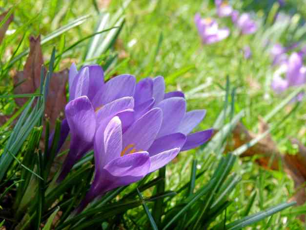 Four Crocuses in a corner