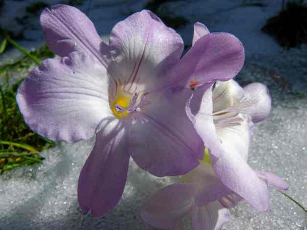 Purple freesia on ice