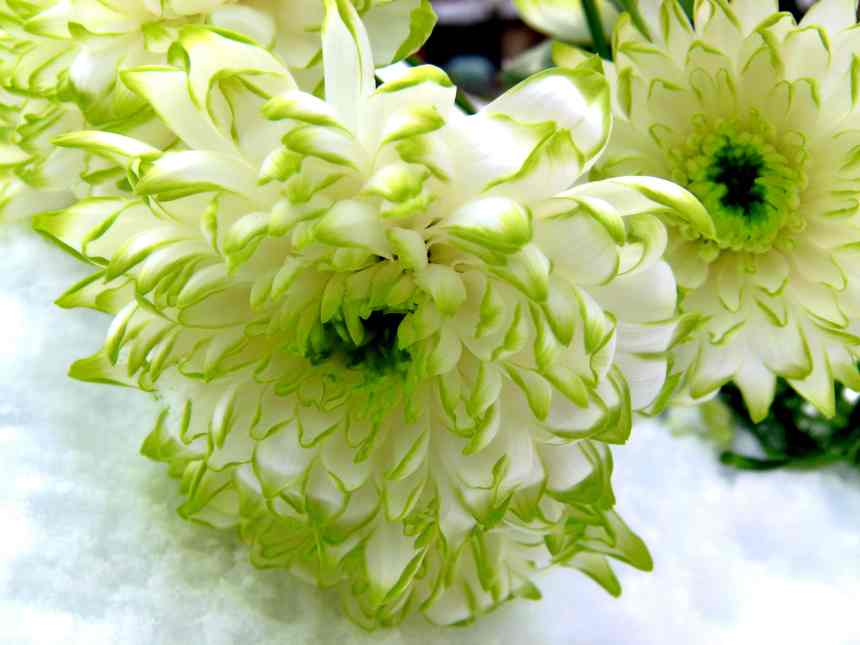 Lime green tipped White Chrysanthemum on snow
