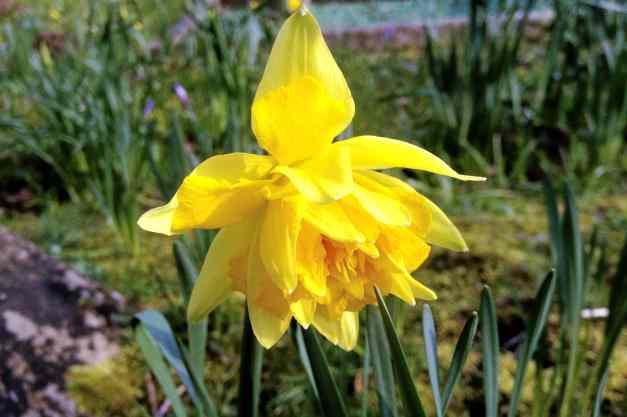 Polymerous daffodil - an unusual sight