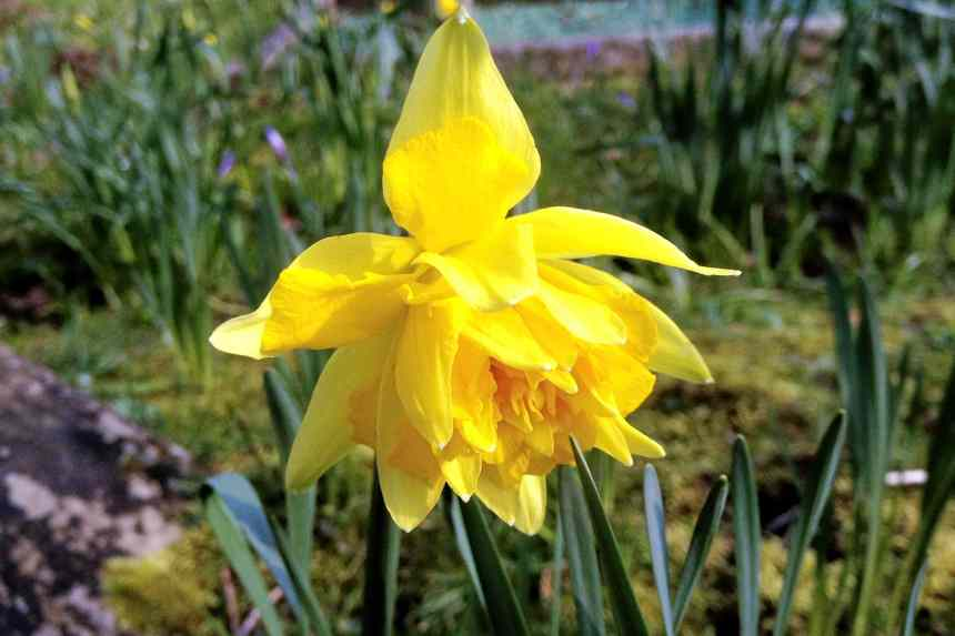 Polymerous daffodil - an unusual sight