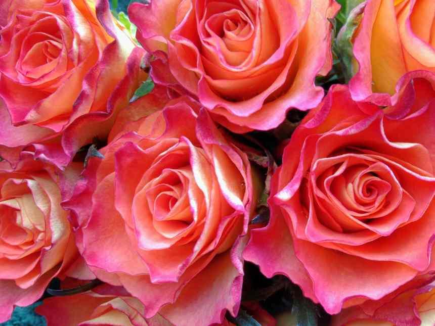 Vivacious variegated roses