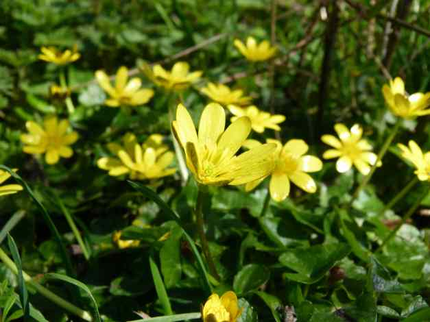 Lesser Celandine Flowering in the Sun