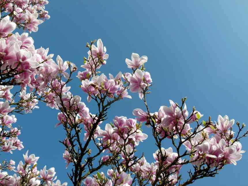 Magnolia blooms and blue skies