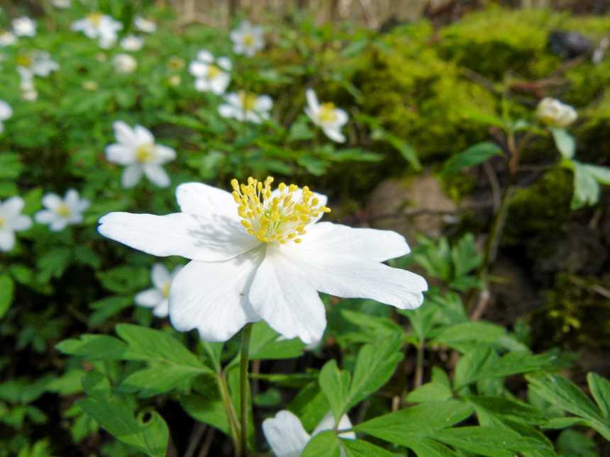 Wonderful Windflowers