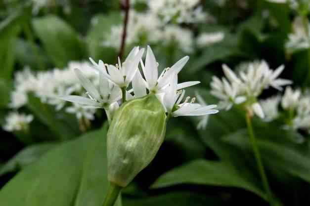 Wild Garlic Flowers Emerging