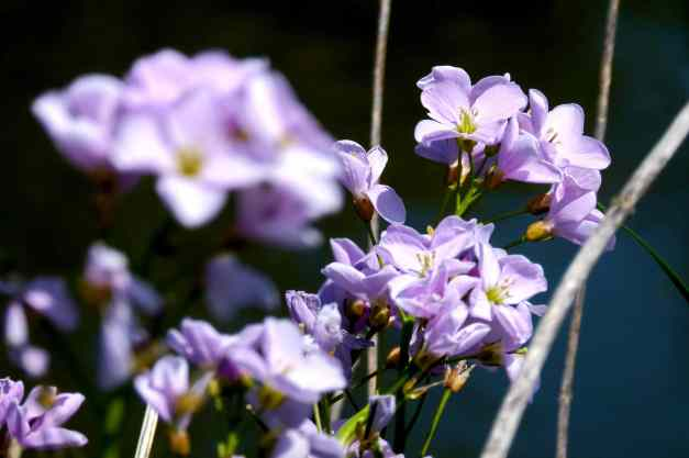 Wild Lilac Cuckoo flowers
