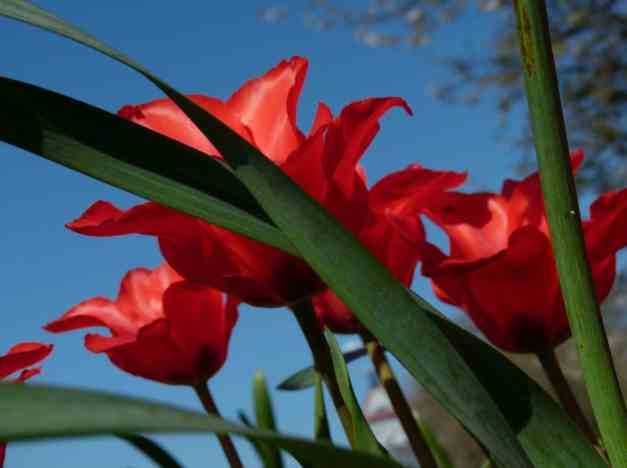 Daffodil leaves and red tulips