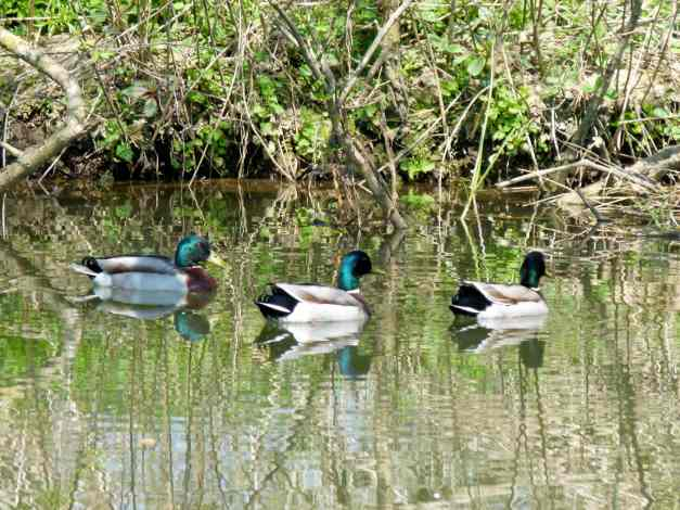 Three mallards on the River Ouse