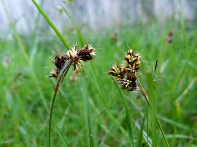Two Field Wood-rushes greeting