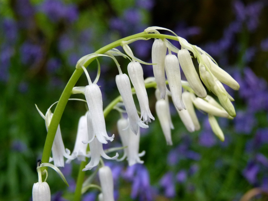A pair of White Bluebells