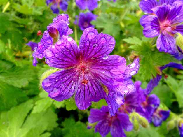 Photo: Geraniums in the rain